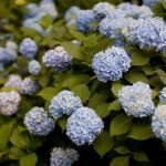 Multiple gorgeous Hydrangea plants in bloom