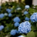 Hydrangea blooms with full plants in the background.