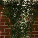 A brick wall overlaid with greenery.